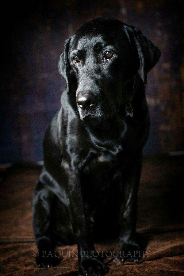 Omg Absolutely Stunning Dogs Labrador Retriever Black Labrador