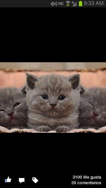 Gatitos gris