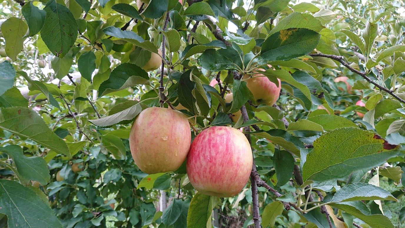 Pin By Tabatha Long On Japanese Road Trips Tree Nursery Apple Tree Fruit Tree Nursery