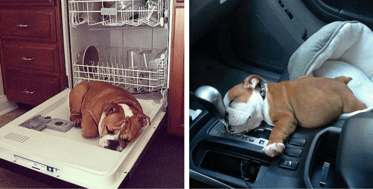 It's official, English Bulldogs can sleep at absolutely
