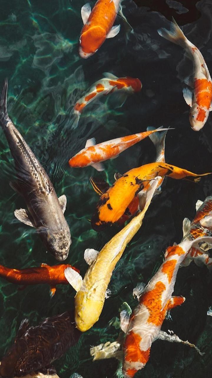 Downloaden Sie Koi Fish Wallpaper Von Georgekev 0c Kostenlos Auf Zedge Durchsuchen Mil Fish Wallpaper Wallpaper Iphone Ikan