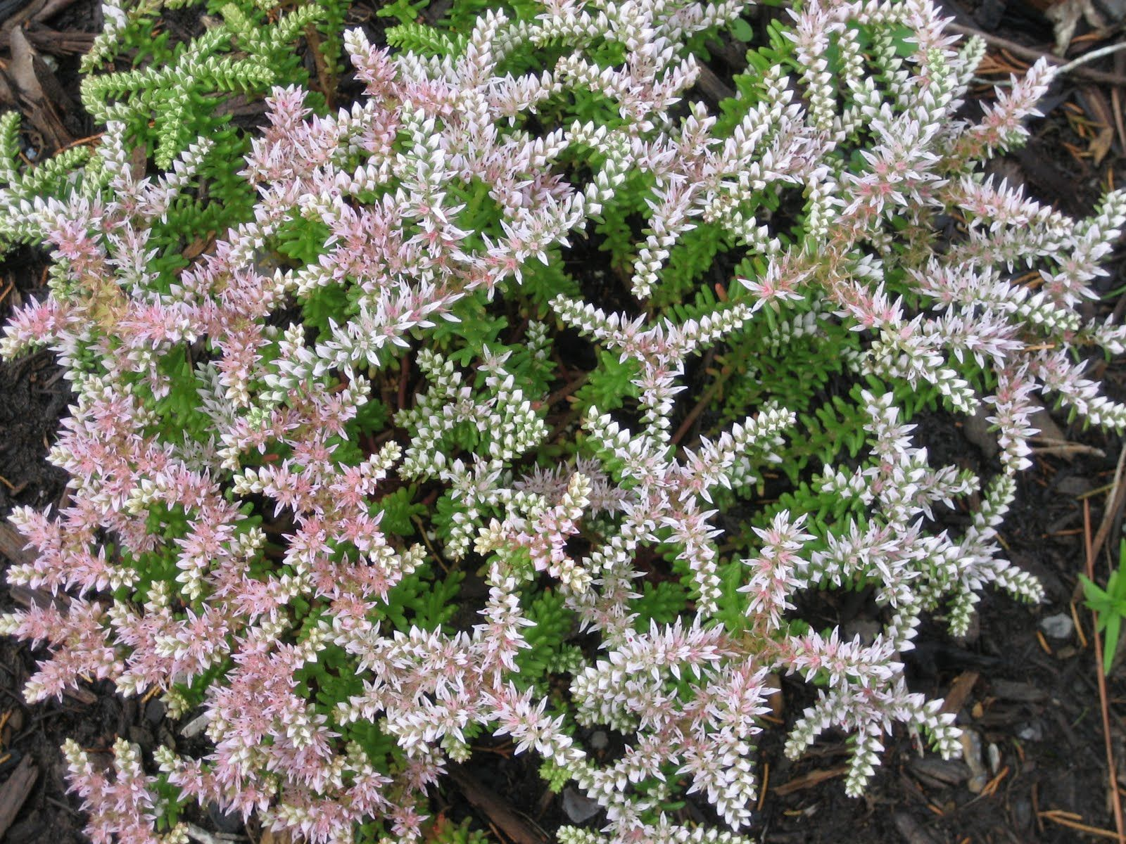 Sea star sedum amazing succulents pinterest gardens cacti and