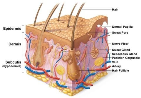 Diagram skin appendages  hair and sweat glands anatomy