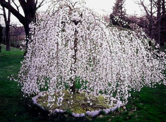 Weeping Cherry Tree Weeping Cherry Tree Flowering Cherry Tree Trees To Plant