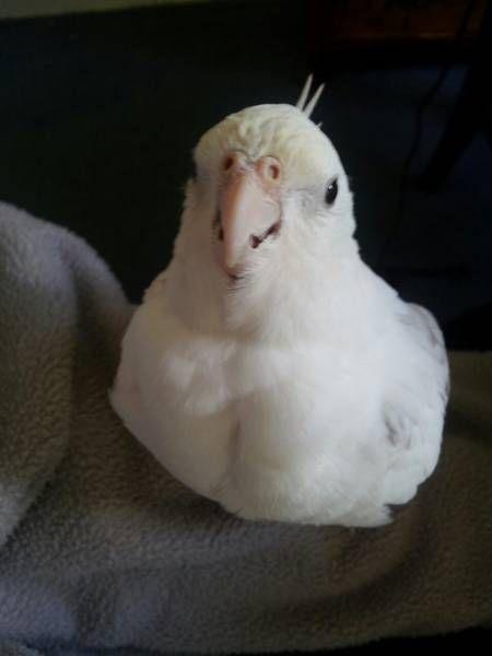 LOST COCKATIEL: 09/03/2016 - Cranbourne North, Victoria, VIC, Australia. Ref#: L23480 - #ParrotAlert #LostBird #LostParrot #MissingBird #MissingParrot #LostCockatiel #MissingCockatiel