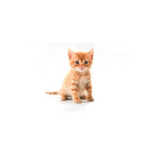 A Cute Orange Kitten Isolated On A White Background Liked On