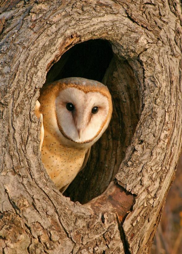 15 Large Premium owl Pellet