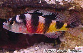 Cichlid Profiles Cichlids Aquarium Fish Tropical Fish