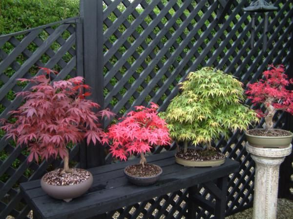 Acer Palmatum Seigen Japanese Maple Bonsai Projects For Greg And