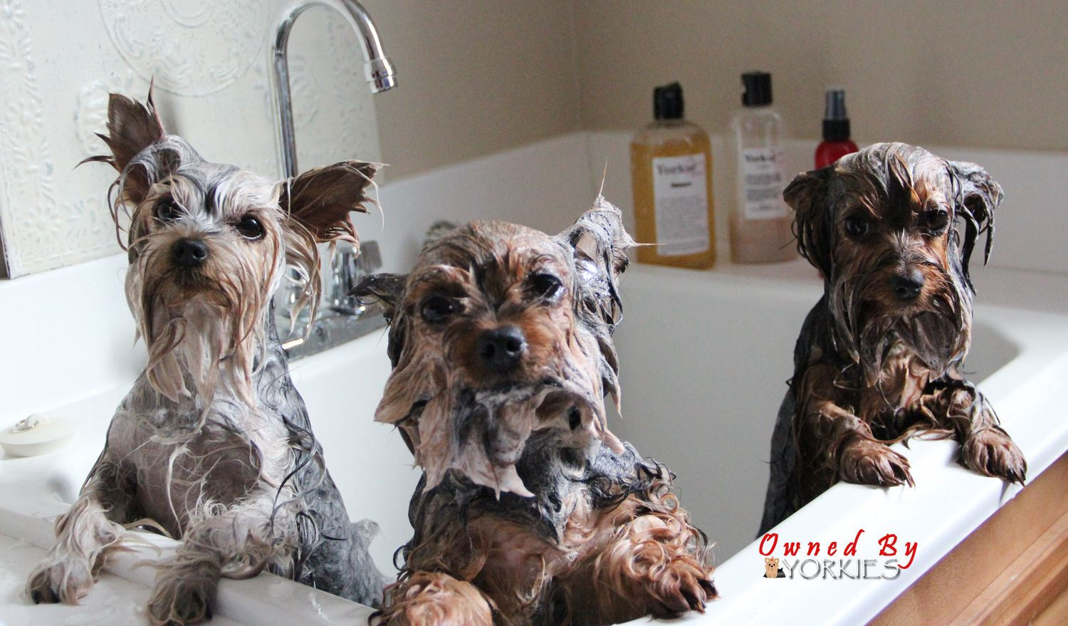 Bath time with yorkie splash shine with images