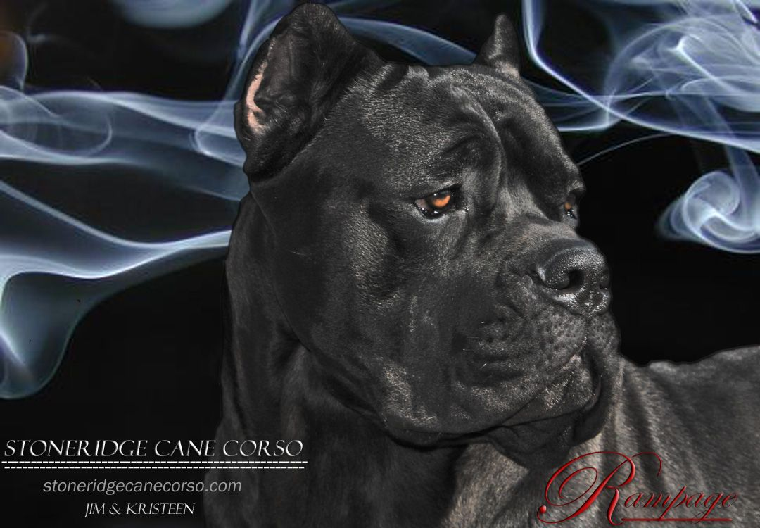 Stoneridge Cane Corso Cane Corso Cane Corso Puppies Beautiful Dogs