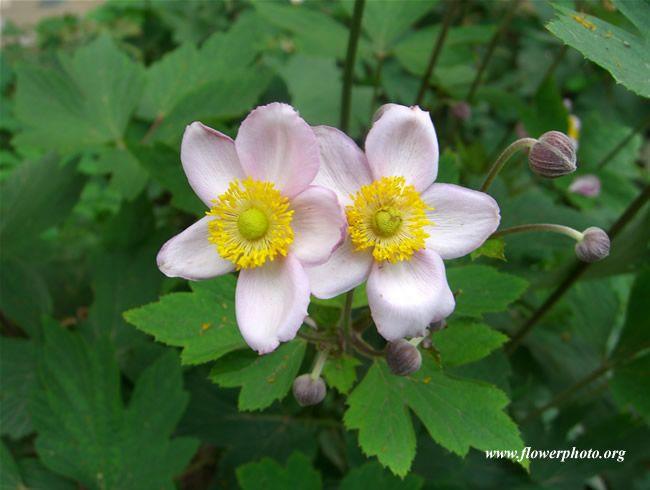 Anemone tomentosa (plant)