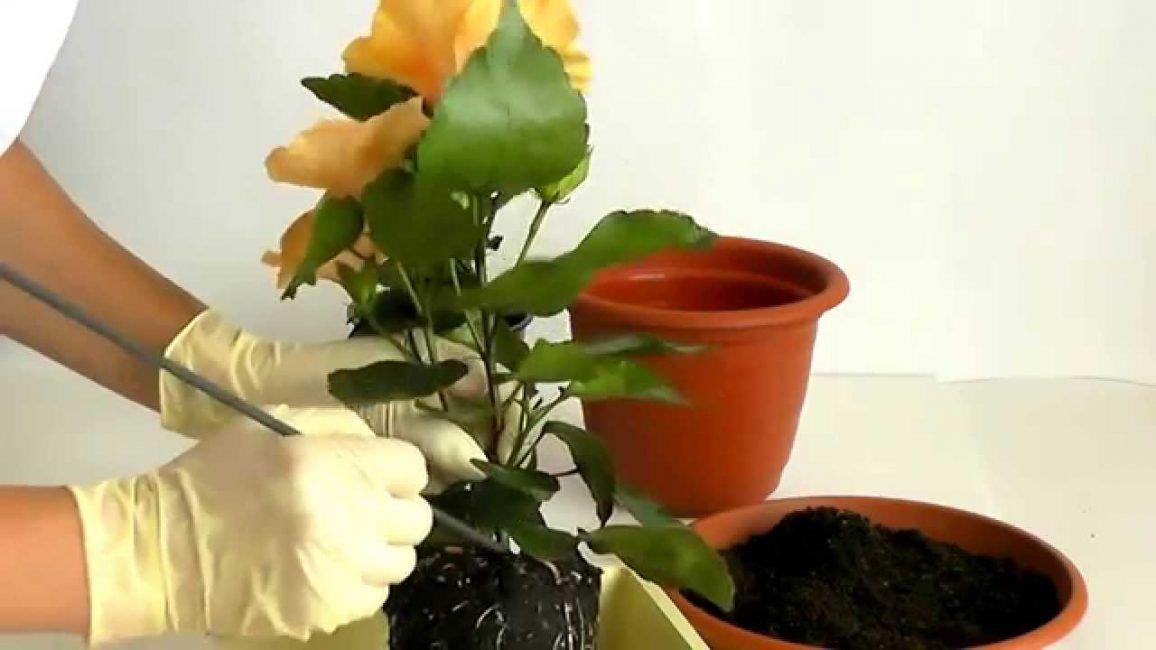 Гибискус: Описание, Выращивание, Уход   Гибискус, Растения ...