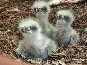 eaglets eagles eagles birds