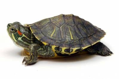 Красноухая черепаха (Pseudemys scripta elegans) | Статья