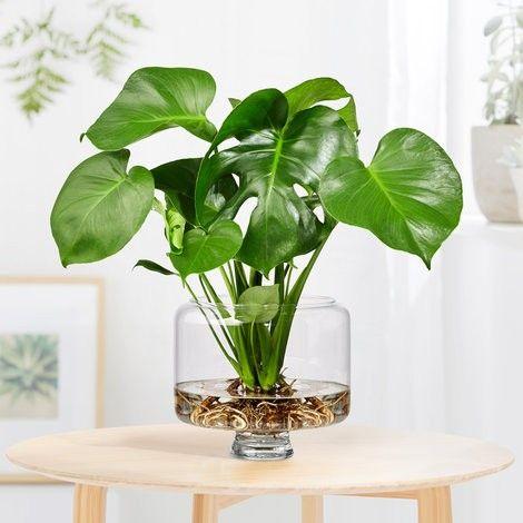 plante dans l eau plantes dans l eau plantes. Black Bedroom Furniture Sets. Home Design Ideas