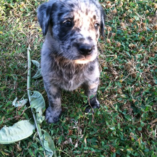 Labahoula Puppy Catahoula X Lab Catahoula Leopard Dog Puppies