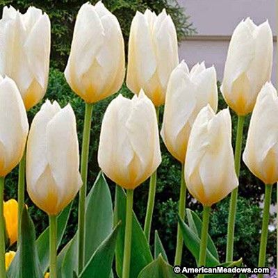 "White Emperor Tulips; 9 bulbs per sq ft; full sun/ part shade; 14-16"" flowers; blooms early spring. Fosteriana"
