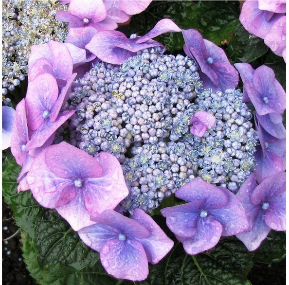 Close up photo of purple hydrangea flower