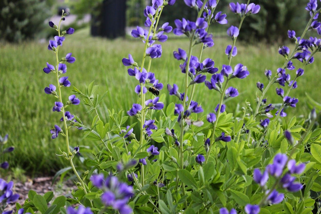 My Favorite Plant In The Garden These Days Is Baptisia Australis