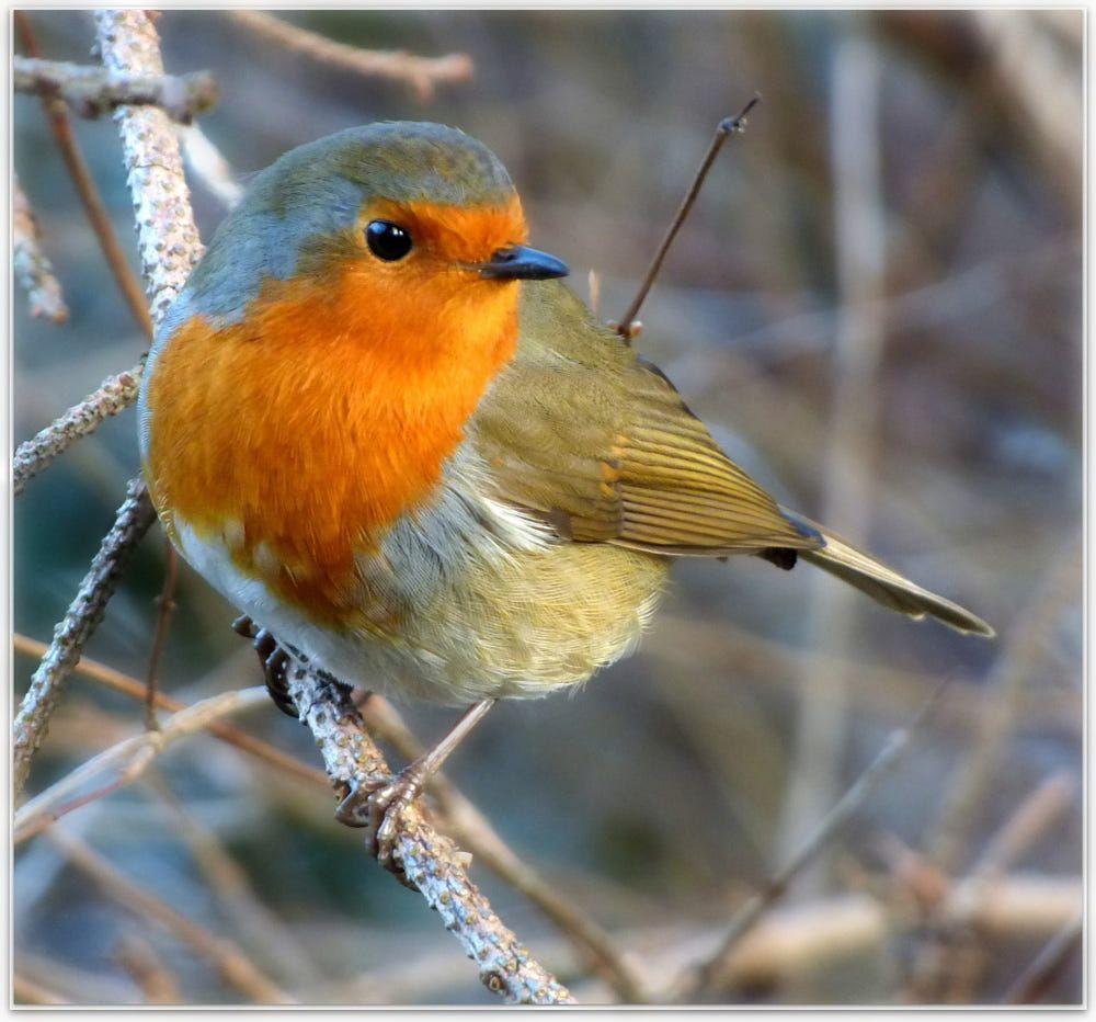 Bobby The Robin By Eric Niven On 500px Vogel Fotos Tierbilder Vogel Als Haustiere
