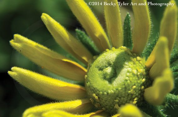 Yellow Daisy Fine Art Photo Print by BeckyTylerArt on Etsy