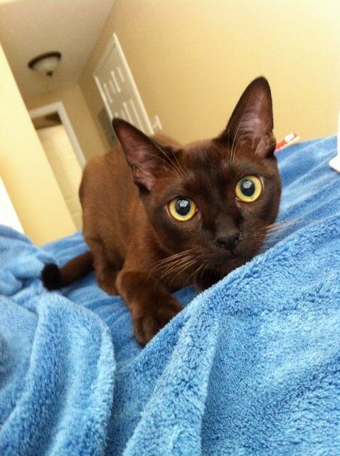 Pancho On A Mission Burmese Cat Cat Sleeping Oriental Cat