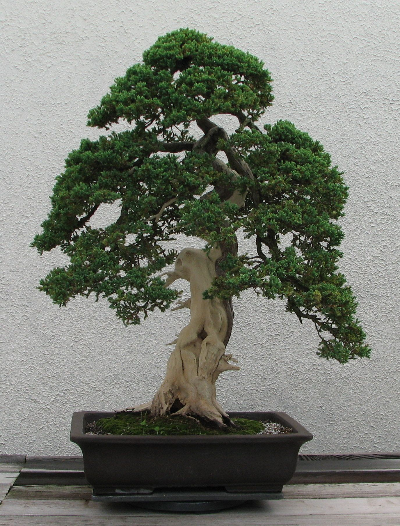 Bonsai Trees For Sale  Shipped Direct From Nursery