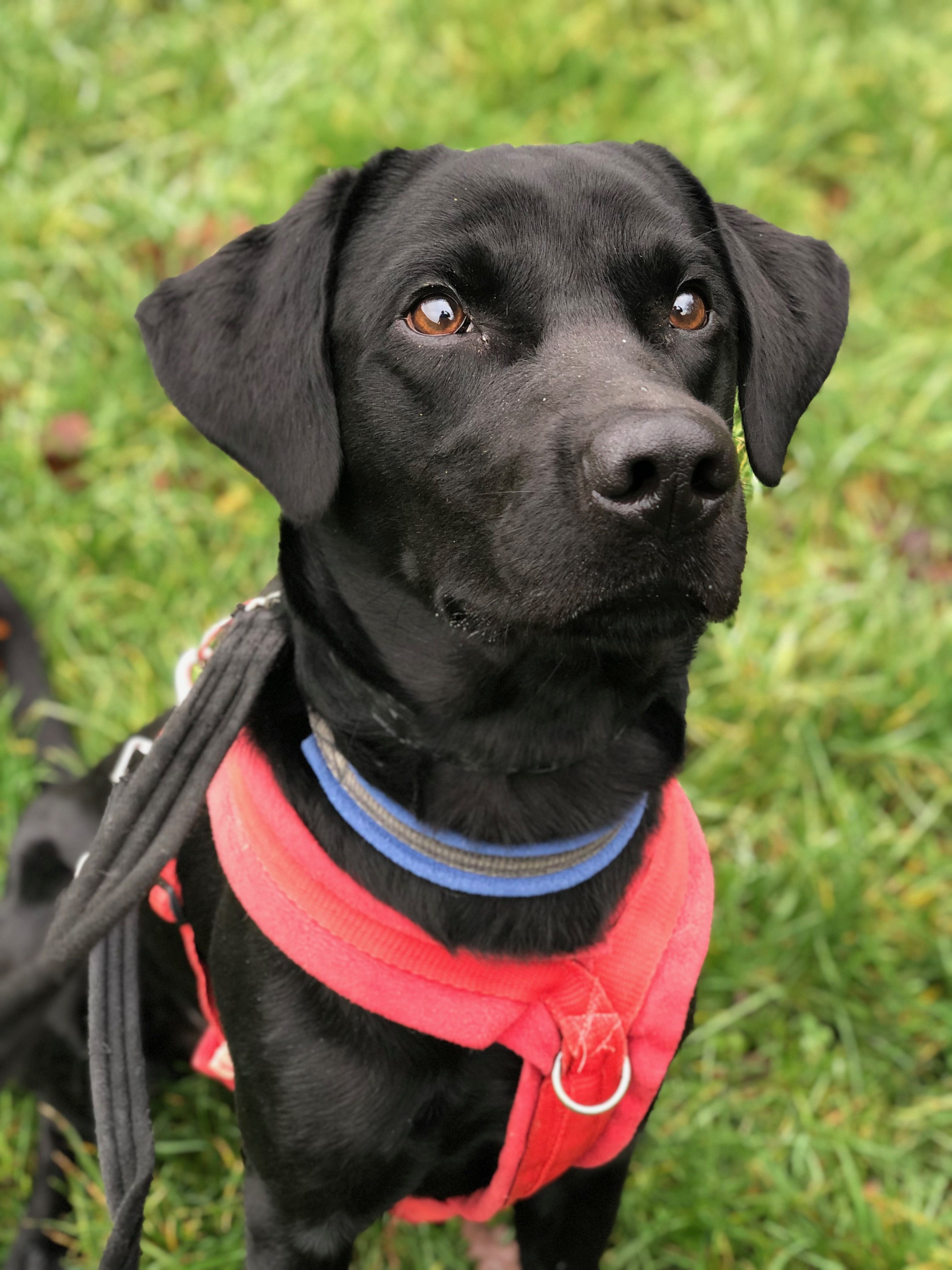 Rehome A Dog Bertie Dogs Labrador National Animal