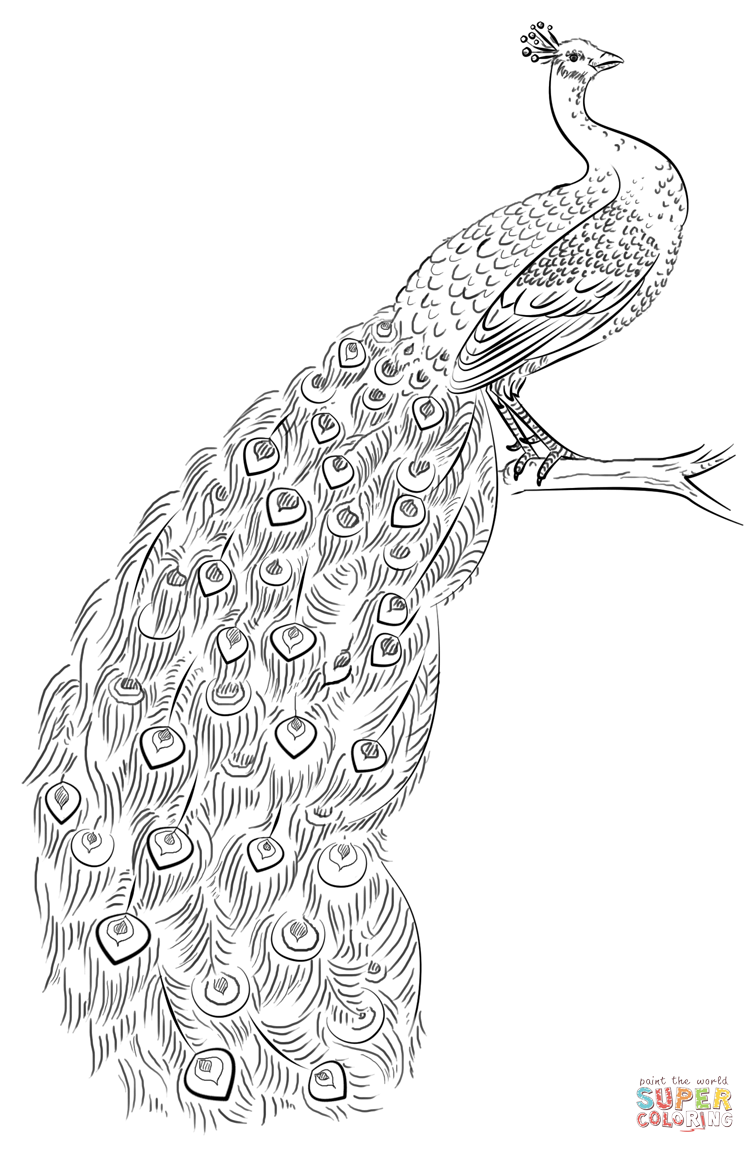 peacock coloring page free printable coloring pages - Peacock Coloring Pages