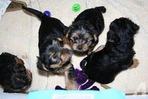 Adorable Healthy Teacup Yorkies Puppies For Free Adoption