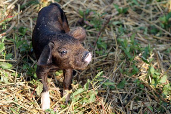 Freedom Farms Livestock, A piglet surveys his surroundings, as seen on Season 3 of Great American Country's Farm Kings., Season 3