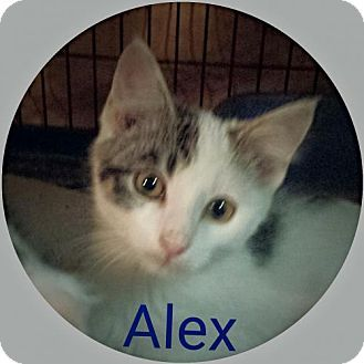 Akron Oh Turkish Angora Meet Alex Kitten A Cat For Adoption Http Www Adoptapet Com Pet 14243084 Akron Ohio Cat Cat Adoption