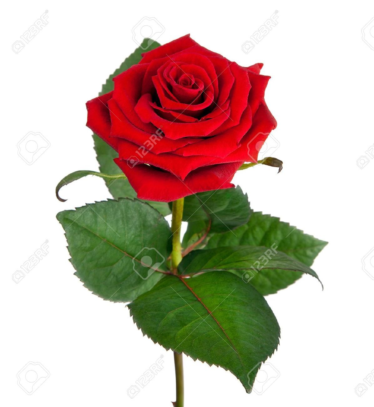 13432980 Single Beautiful Red Rose Isolated On White Background Stock Photo Jpg 1 196 1 300 Pixels Flores Rosas Fotos