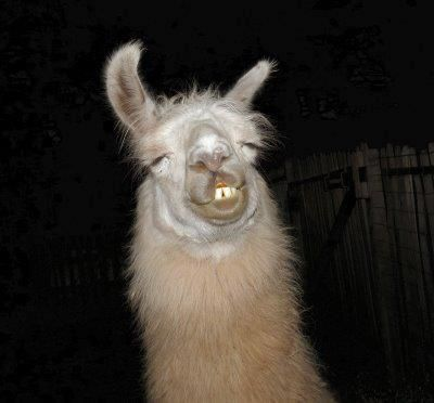 Thats How A Drunk Llama Looks Hilariousness Animals Funny