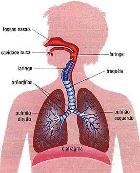 sistema circulatório do pulmão direito
