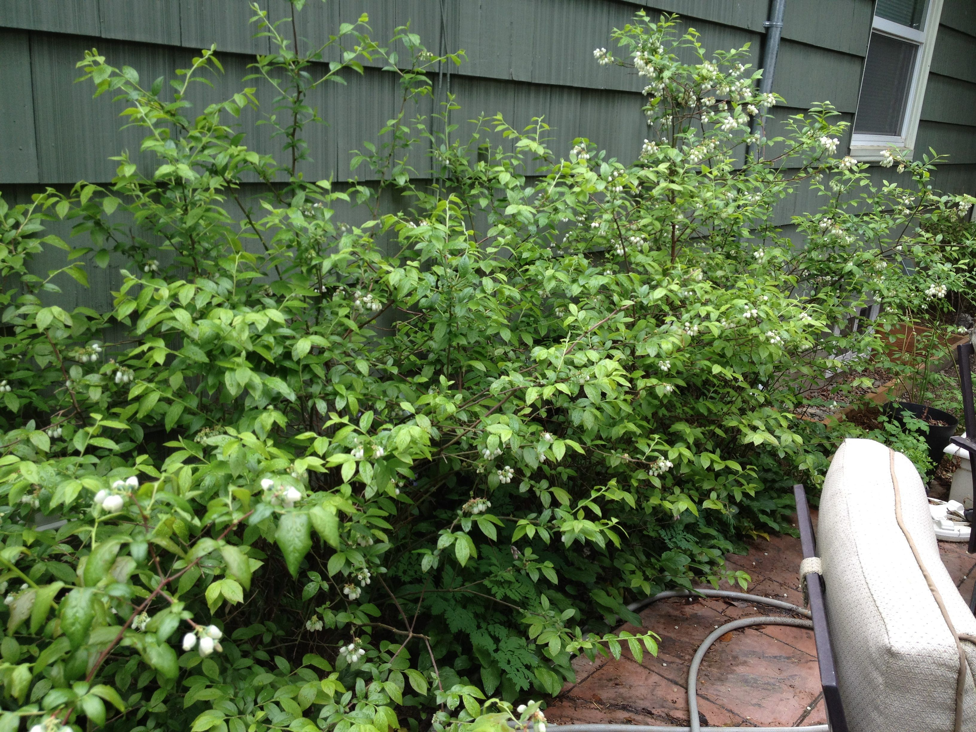 Edible Landscaping Edible Landscaping Blueberry Bushes Fruit Trees