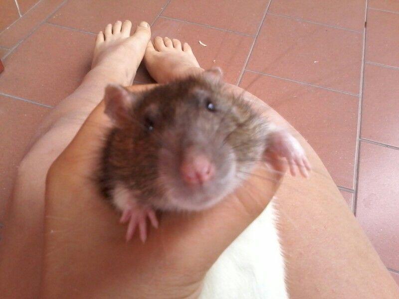 A Little big rat
