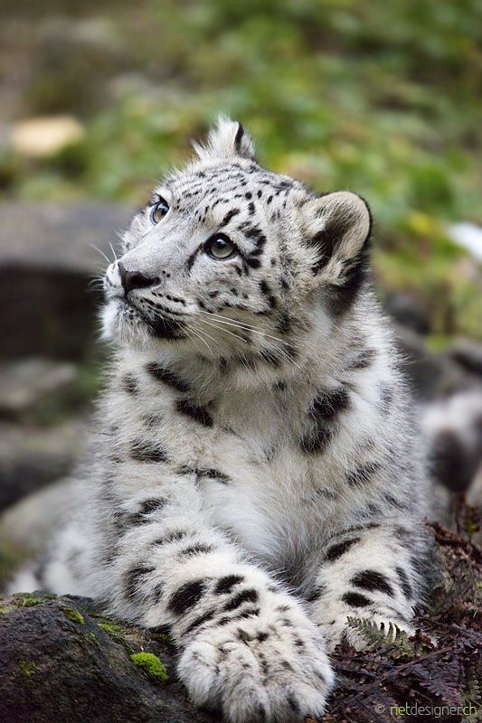Snow Leopard CubsAmur LeopardBaby