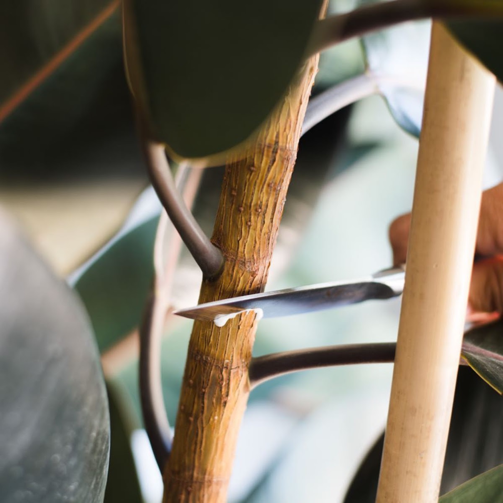 How To Encourage New Growth On Your Plants Through Notching La Residence Plant Care Tips And More In 2020 Plant Care Rubber Tree Plant New Growth