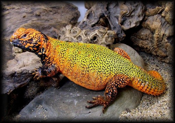 The Moroccan Uromastyx Native To Morocco Tunisia Uromastyx Lizard Uromastyx Lizard