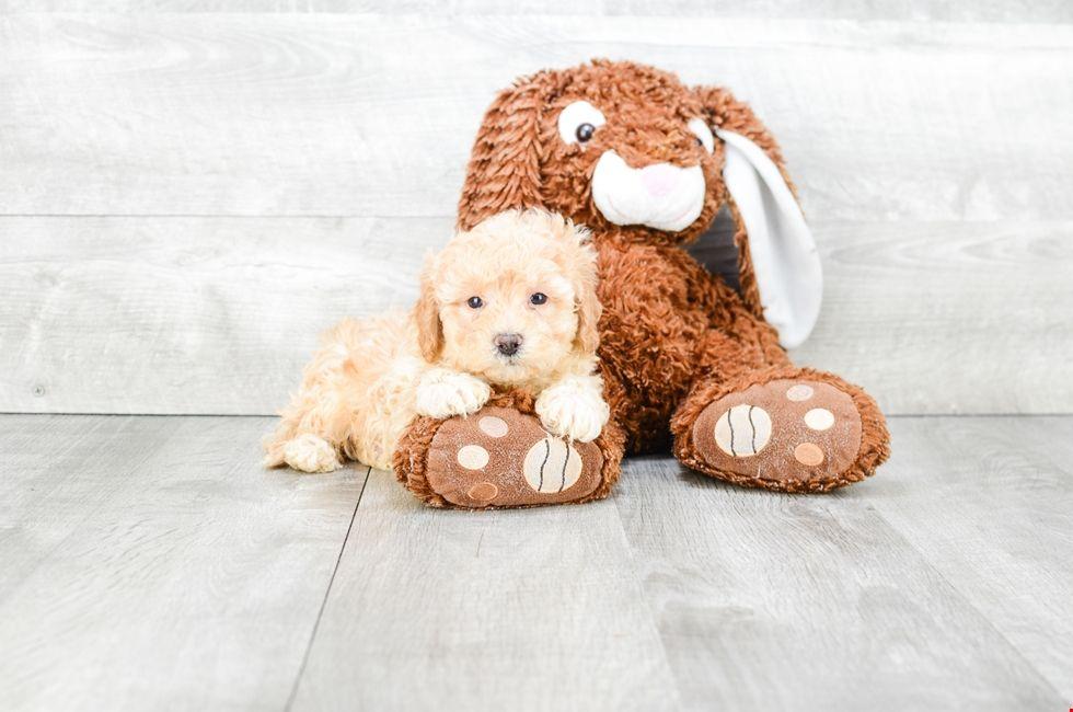 Teddy Bear Puppies For Sale Online Zuchon Pups Teddy Bear