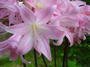 Amarylis belladona pink flowering in autumn amazing amaryllis belladonna is an autumn flowering bulb with delicate colours in the range of flowers mightylinksfo Gallery