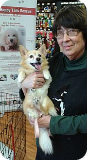 Pomeranian Chihuahua Mix Dog For Adoption In Mississauga Ontario