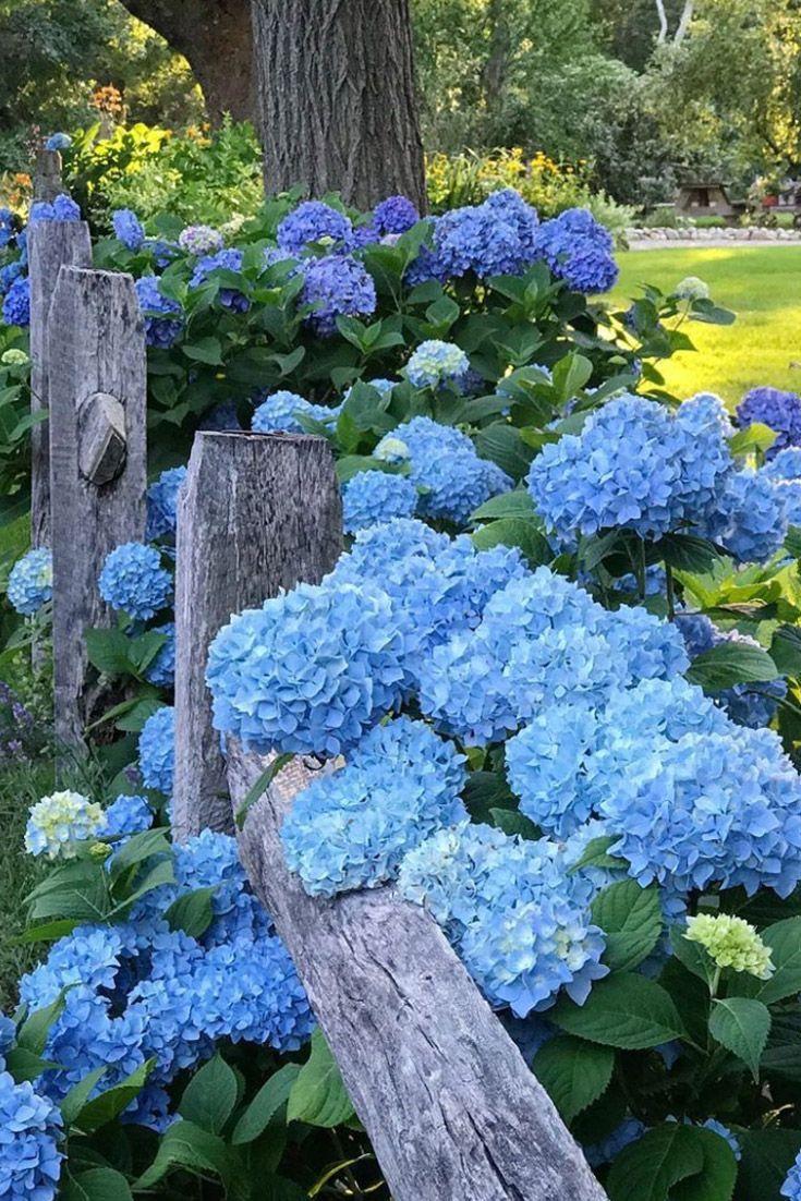 Голубые цветы в саду картинки