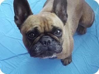 Dallas Tx French Bulldog Meet Bella A Dog For Adoption Http Www Adoptapet Com Pet 11306758 Dallas Texas Fre Dog Adoption French Bulldog Kitten Adoption
