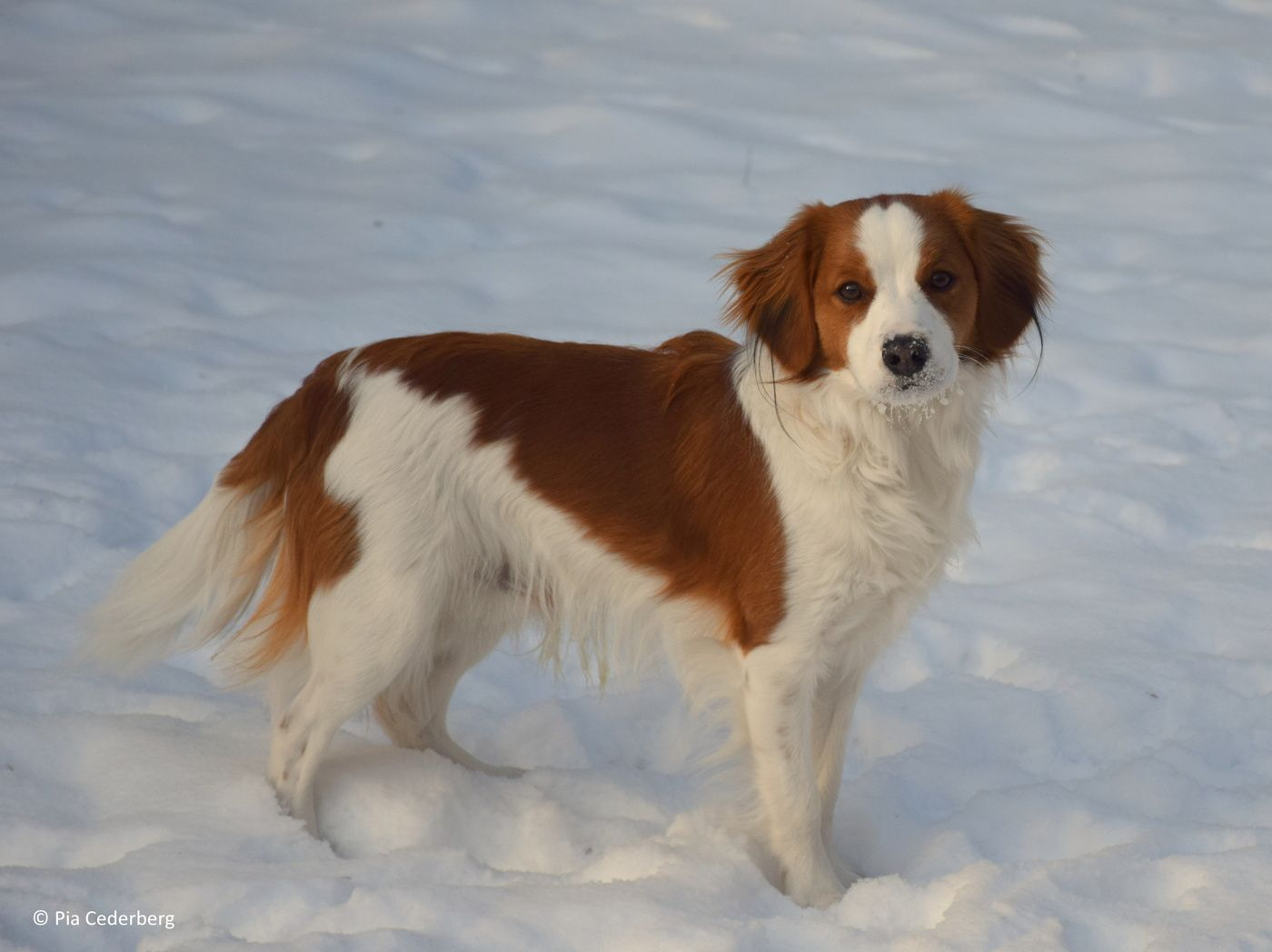 Nederlandse Kooikerhondje Cute Dogs Dogs Dogs And Puppies