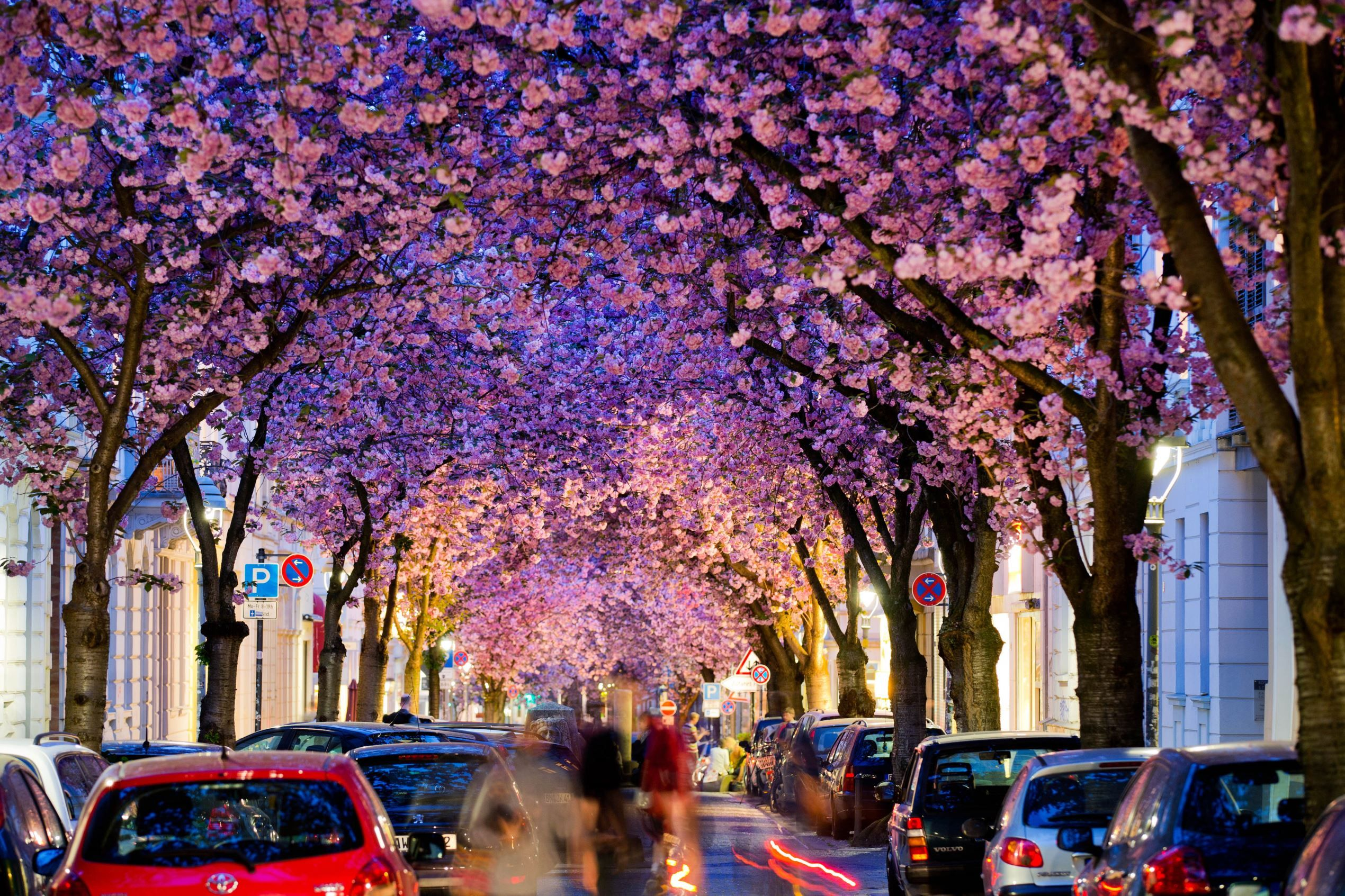 Cherry Blossom in Bonn (Germany)