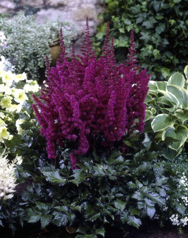 Astilbe Visions Series Astilbe Chinensis Visions In Red Shade Perennials Plants Shade Plants