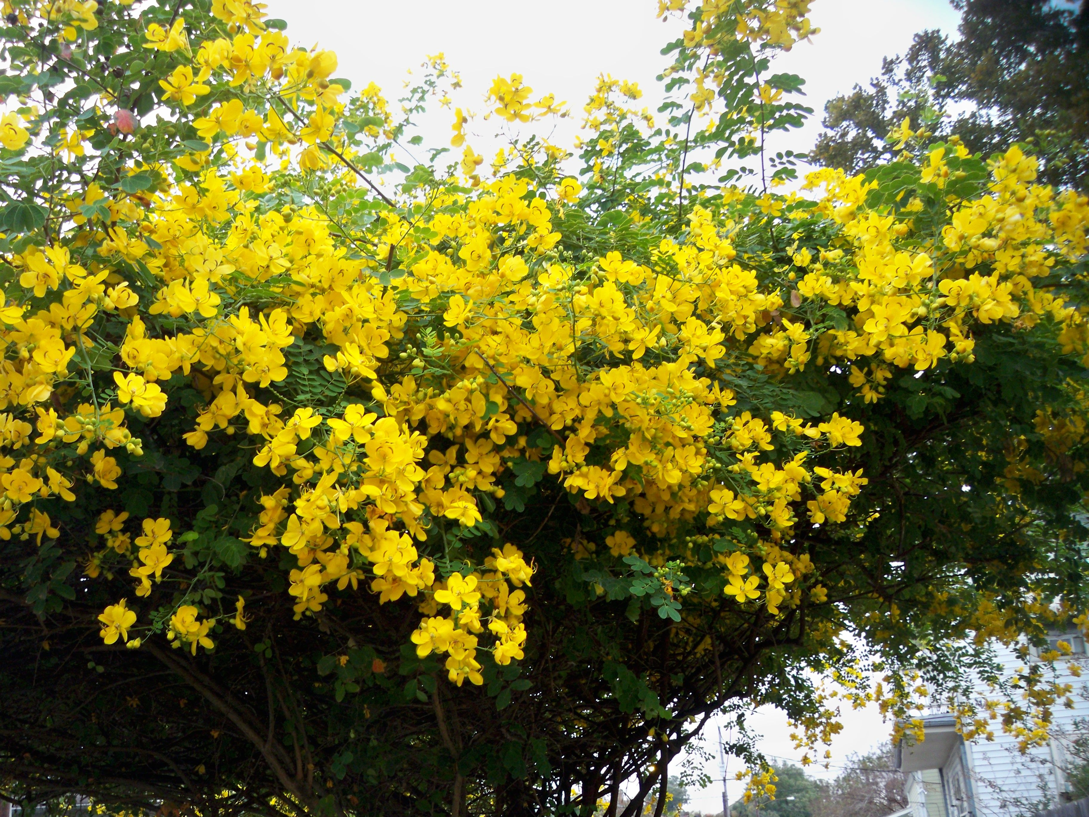 Philippine Trees Garden Flowers This Is Our Al Of Tropical Plants And